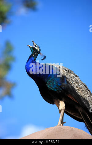 Indian Peafowl, (Pavo cristatus), adult male calling, Oudtshoorn, Western Cape, South Africa, Africa - Stock Photo