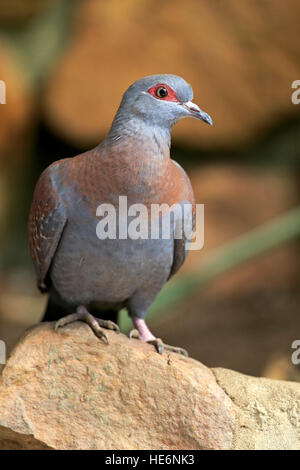 Rock Pigeon, (Columba guinea), Speckled pigeon, adult on rock, Simonstown, Western Cape, South Africa, Africa - Stock Photo