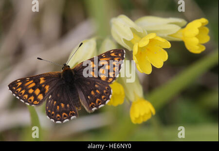 A rare Duke of Burgundy Butterfly (Hamearis lucina) perched on a cowslip flower. - Stock Photo