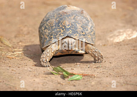 Leopard Tortoise, (Testudo pardalis), adult walking, Addo Elephant Nationalpark, Eastern Cape, South Africa, Africa - Stock Photo