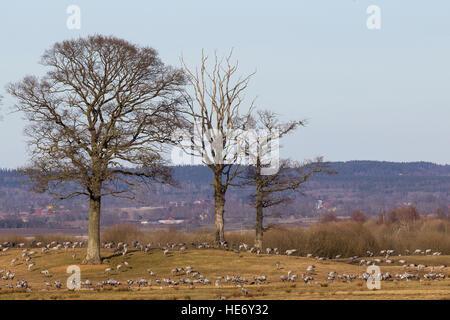 Cranes, Grus grus, Kraniche, Hornborga, Sweden, feeding on meadows with trees close to the lake - Stock Photo
