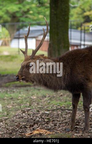 Closeup of the sika deer in Nara park, Japan - Stock Photo