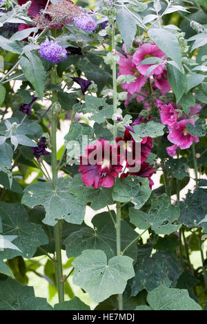 Alcea rosea. Dark pink hollyhock. - Stock Photo