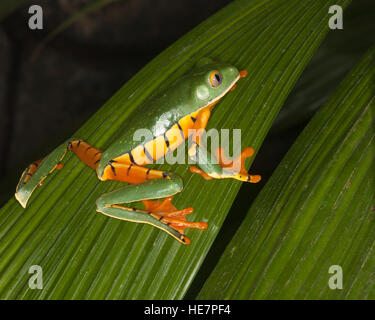 Golden-eyed Leaf Frog (Cruziohyla calcarifer) on leaf Stock Photo