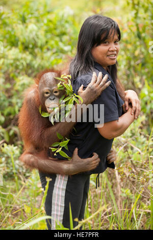 Young orphan orangutan clinging to caretaker's back on the way to outdoor play session at the Orangutan Care Center - Stock Photo