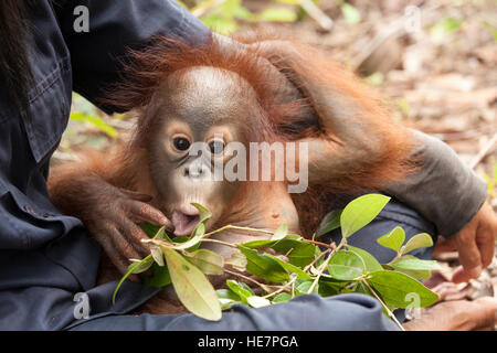 Curious baby orphan orangutan (Pongo pygmaeus) in caretaker's lap playing with leaves during forest training session - Stock Photo