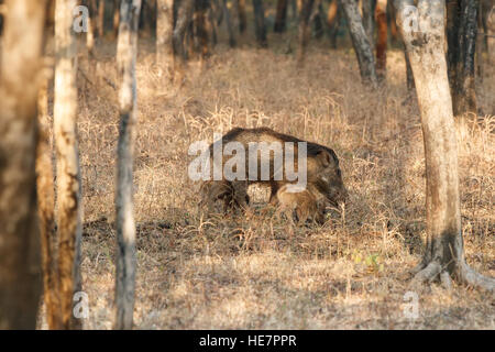 The Indian boar (Sus scrofa cristatus), also known as the Moupin pig is a subspecies of wild boar native to India - Stock Photo