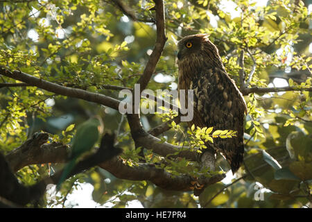 Fish owl sitting on the branch in the green tropic forest. The brown fish owl is a species of owl that is part of - Stock Photo