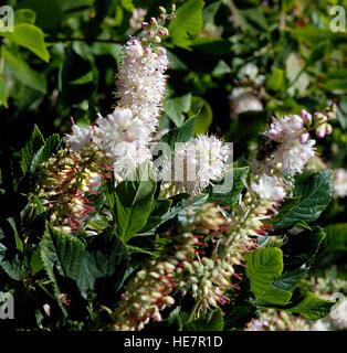 Summersweet, Clethra alnifolia 'Pink Spire' - Stock Photo