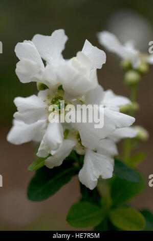 Exochorda macrantha, the Bride, - Stock Photo