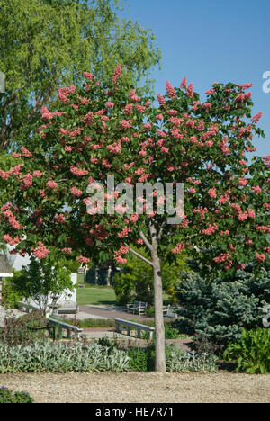 Red Horse Chestnut , Aesculus x carnea - Stock Photo
