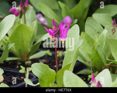 Dodecatheon meadia in full bloom - Stock Photo