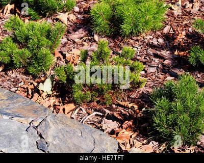 Pinus mugo var. pumilio - Stock Photo