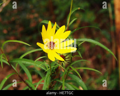 Helianthus salicifolius (syn. Helianthus orgyalis) - Willow-leaved sunflower, willowleaf sunflower - Stock Photo
