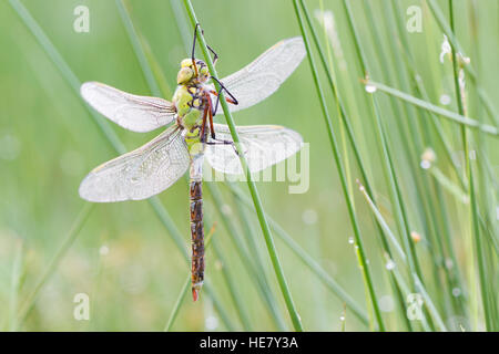Dragonfly with dew drops on plant with green background. - Stock Photo