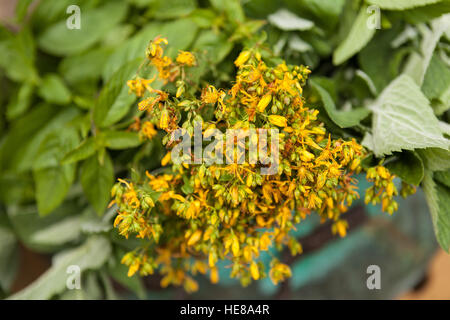 Fresh medical herbs - St. John's wort ( Hypericum perforatum ) just from the meadow. - Stock Photo