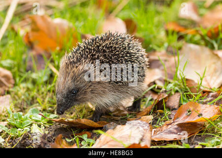 juvenile hedgehog sniffing in grass - Stock Photo