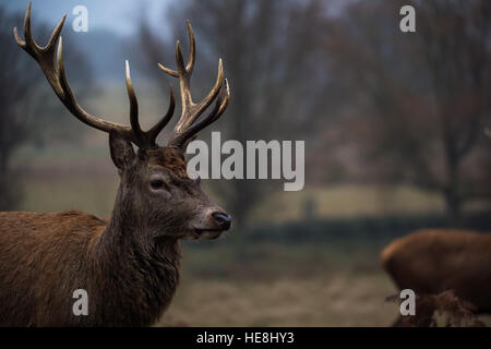 Red deer in Richmond park, London, England - Stock Photo