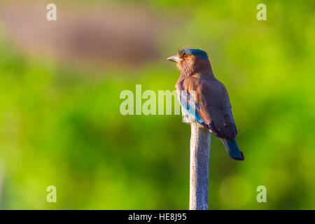 Indian roller in Kalpitiya, Sri Lanka ; specie Coracias benghalensis family of Coraciidae - Stock Photo