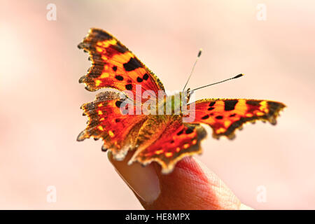 Comma Butterfly rest on a finger, - Stock Photo