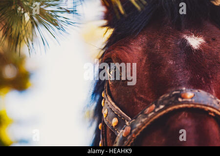 Close-up view of maroon horse head with white spot on the forehead, eye in focus, with bridle, pinery on summer - Stock Photo