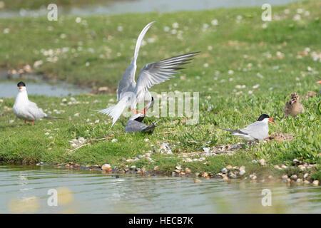 Common tern (Sterna hirundo) pair presenting fish, Texel, the Netherlands. - Stock Photo