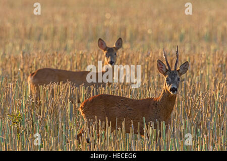 European roe deer (Capreolus capreolus) buck chasing doe in wheat field during the rut in summer - Stock Photo