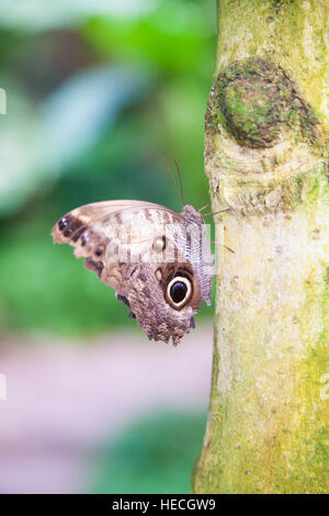 beautiful tropical brown with black circles iridescent butterfly named Morpho peleides, from Nymphalidae family, - Stock Photo