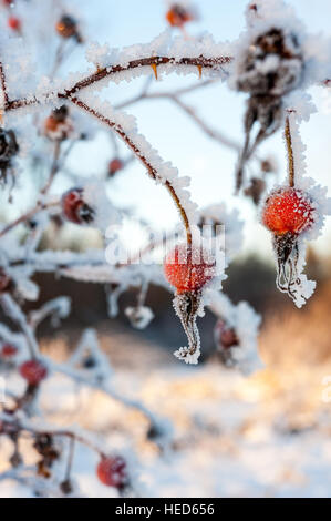 Rose hips from the Wild Rose or Prickly Rose Rosa Acicularis plant covered in snow and ice crystals - Stock Photo