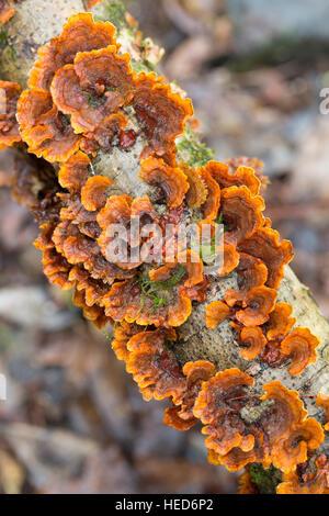 Unidentified bracket fungus, Garajonay National Park, La Gomera, Canary Islands, Spain - Stock Photo