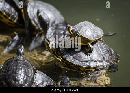 Western painted turtle (chrysemys picta) sitting on rock basking in late morning sun in fresh water pond. - Stock Photo