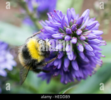 Close up of a bee collecting nectar from a purple flowerhead - Stock Photo