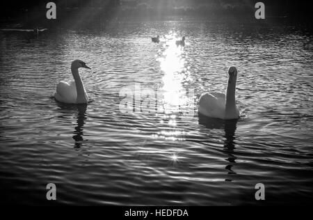 Swans in serpentine lake at hyde park london, UK - Stock Photo