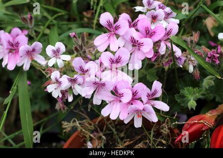 Close up of Pelargonium citrosum or known as Mosquito Repellant Plant or Citronella Plant - Stock Photo