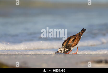 Ruddy Turnstone foraging on Florida beach - Stock Photo