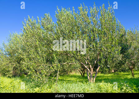 Ripe olive tree on plantation, green landscape and blue sky - Stock Photo