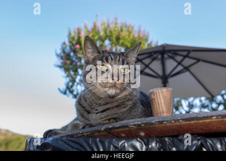 Tabby cat, Sonoma, Sonoma County, California - Stock Photo
