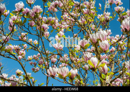 Magnolia tree about to bloom - Stock Photo