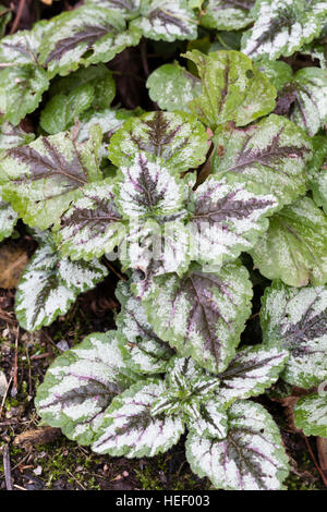Winter variegated foliage of the invasive yellow archangel, Lamiastrum galeobdolon subsp. argentatum - Stock Photo