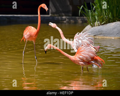 Three Carribean flamingos (Phoenicopterus ruber) in water and squabbling - Stock Photo