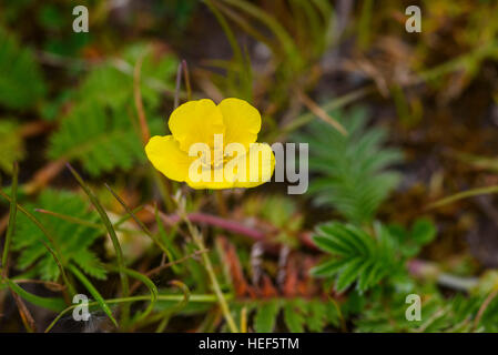 Silverweed, Potentilla anserina, wildflower, Dumfries & Galloway, Scotland - Stock Photo