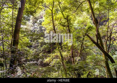 Laurel forest, Los Tilos Biosphere Reserve, La Palma, Canary Islands, Spain - Stock Photo