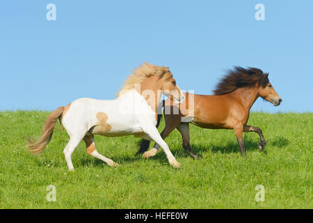Two Icelandic horses in the field - Stock Photo