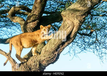 The warm dawn light shines on this tree-climbing lion (Panthera leo) in Ngorongoro National Park, Tanzania. - Stock Photo