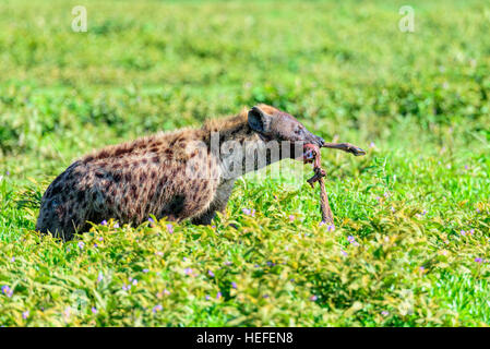 A wild spotted hyena (Crocuta crocuta) also called the laughing hyena with the limb of a wildebeest in its mouth. - Stock Photo