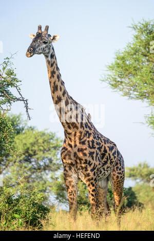 An adult male Masai giraffe (Giraffa tippelskirchi) with bald ossicones and a median bulge in savannah savanna habitat - Stock Photo