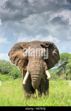 Adult male bull African elephant (Loxodonta africana) faces the camera on the Tarangire National Park savannah savanna - Stock Photo