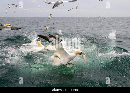 Adult northern gannet diving into the north sea after fish for Other fish in the sea