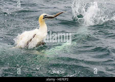 A Northern gannet emerges from the sea with a fish in its beak after diving for fish off the North Sea coast of - Stock Photo