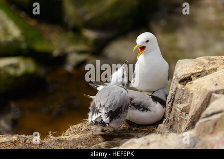 Adult black-legged kittiwake with two immature chicks on their nest on rocks in coastal Northern Britain. - Stock Photo